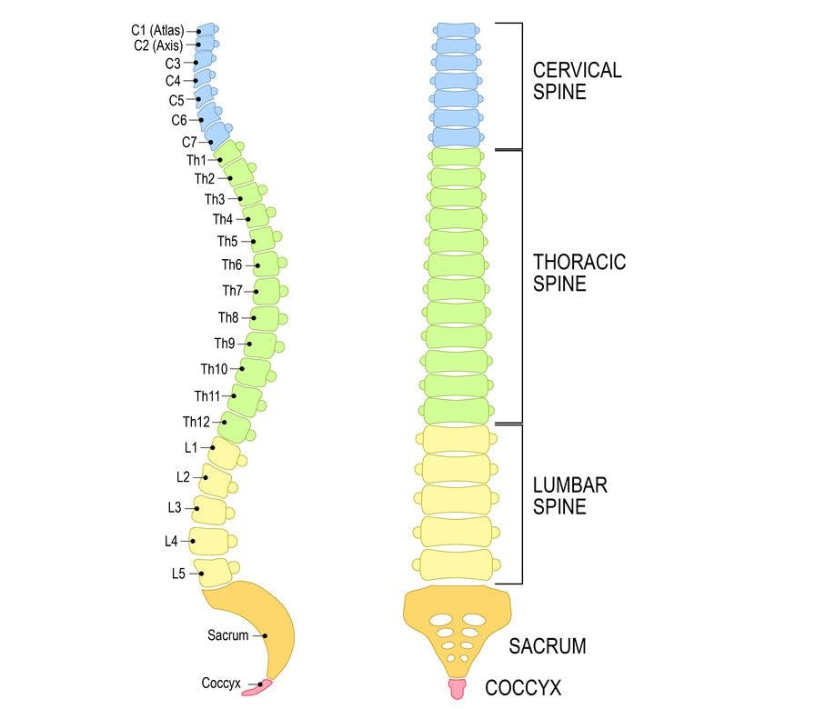 the lumbar region of the spinal column is in yellow and labeled L1-L5