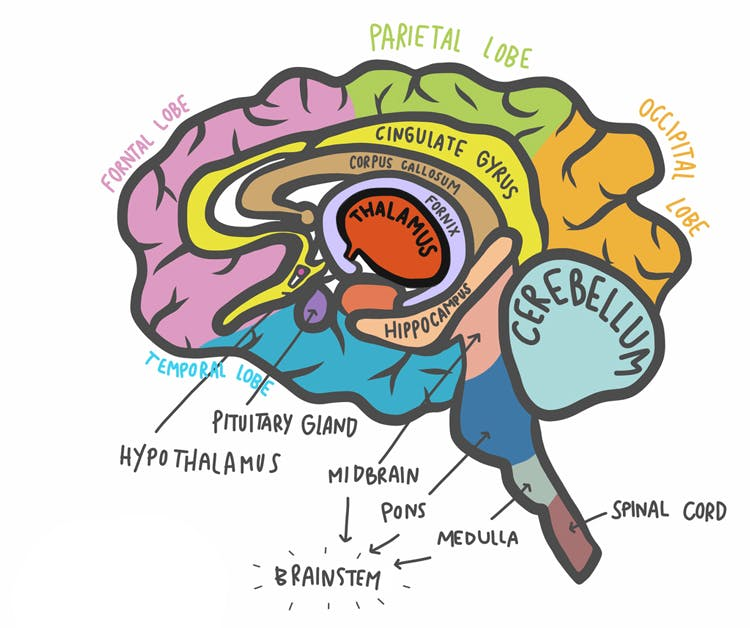 Thalamic Stroke: Side Effects, Treatment, and Recovery ...