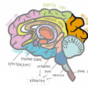 illustration of occipital lobe stroke in relation to the rest of the brain