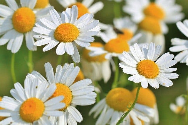 chamomile essential oils for spinal cord injury