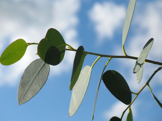 eucalyptus oil for spinal cord injury