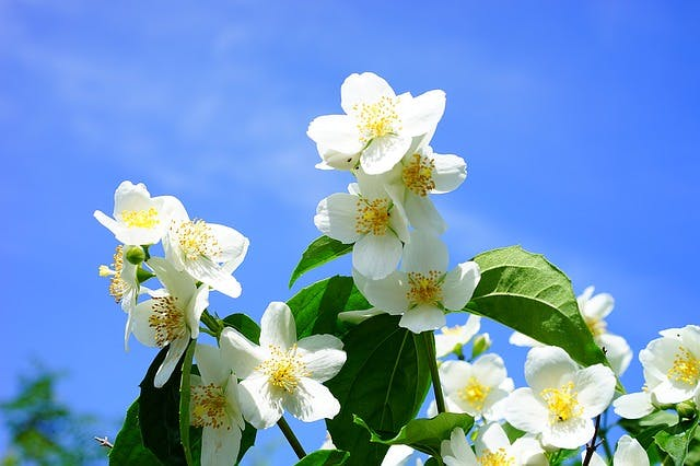 jasmine essential oils for spinal cord injury