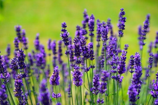 using lavender essential oils for spinal cord injury recovery