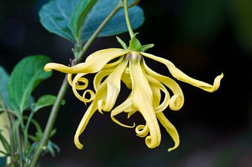 ylang ylang oil for sci patients