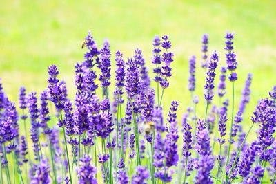 lavender essential oil for stroke recovery