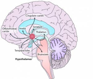 diagram of hypothalamus in brain