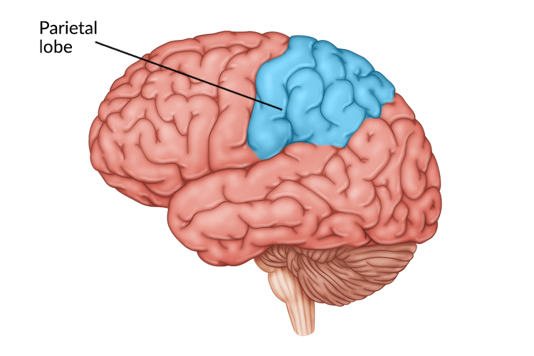 medical illustration of brain with parietal lobe highlighted in upper center portion