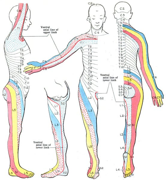 dermatome for c8 spinal cord injury