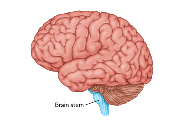 medical illustration of brain with brain stem highlighted at the base