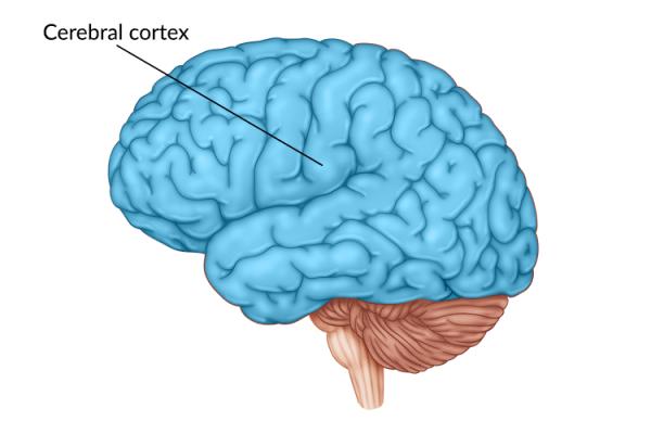 medical illustration of brain highlighting the cerebral cortex