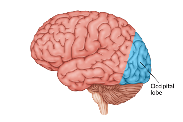 medical illustration of brain with occipital lobe highlighted in back