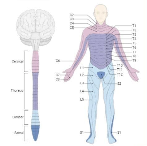 functions affected by c1 spinal cord injury