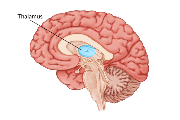 medical illustration of brain with thalamus highlighted in center of brain