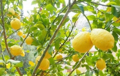 huiles essentielles de citron pour la récupération d'un AVC