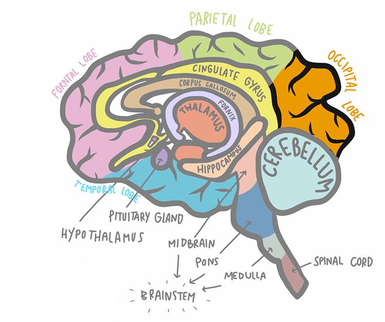 illustration de l'AVC du lobe occipital par rapport au reste du cerveau