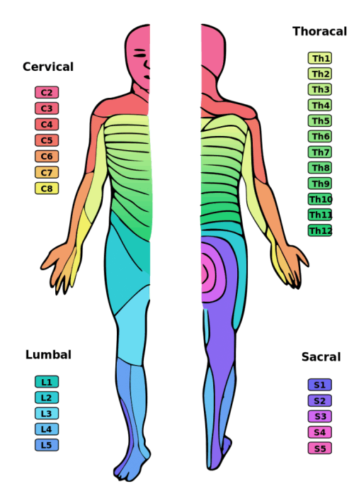 illustration showing which areas of skin are affected at each level of spina; cord injury