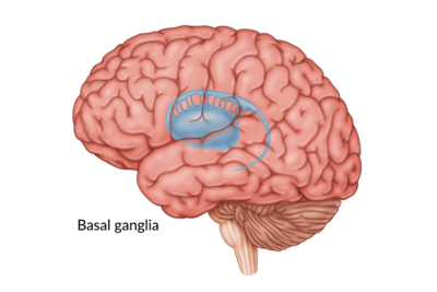 medical illustration of brain with the basal ganglia
