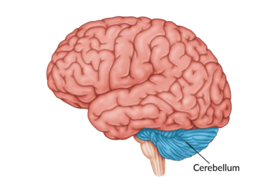 medical illustration of brain with the cerebellum highlighted