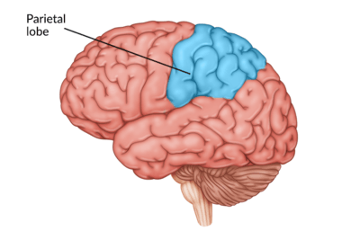 medical illustration of brain with the parietal lobe highlighted